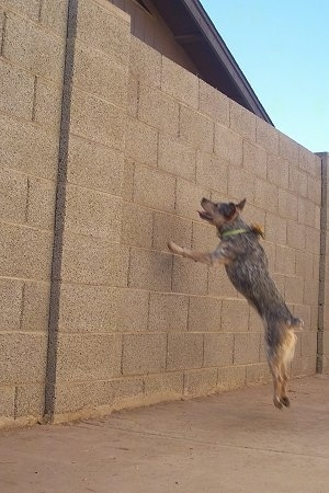 Zima the Heeler / Jack Russell mix is jumping at a stone wall