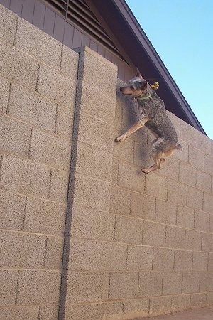 Zima the Heeler / Jack Russell mix is 4 feet off of the ground jumping to the top of a six foot wall