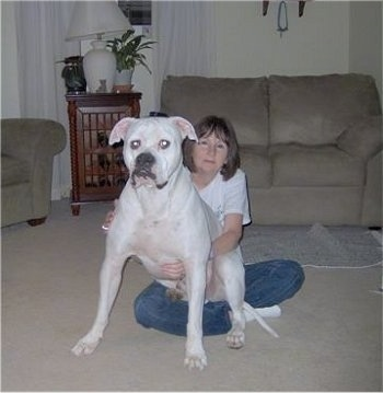 Buddy the American Bulldog sitting in the lap of a lady