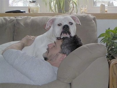 Buddy the American Bulldog laying on a couch on top of a person who is sleeping on the couch