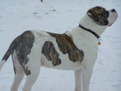 The right side of a white with brindle American Bulldog that is standing across a snowy surface, it is looking up and to the right.