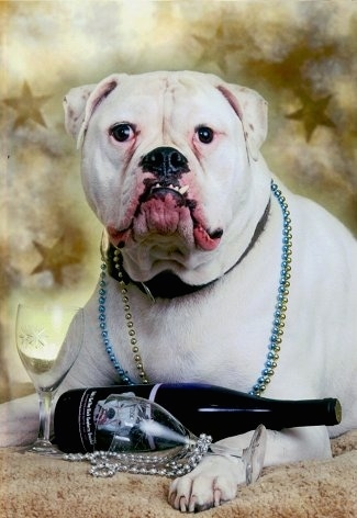 Kevlar the American Bulldog being posed on a carpet for a new years picture with champagne and two glasses and beads