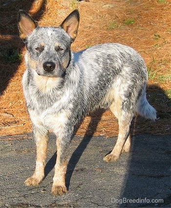 The left side of a Blue Heeler that is standing across a blacktop with pine tree droppings behind it.