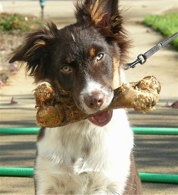 Marley the Australian Shepherd sitting on a sidewalk with a big dog bone in its mouth