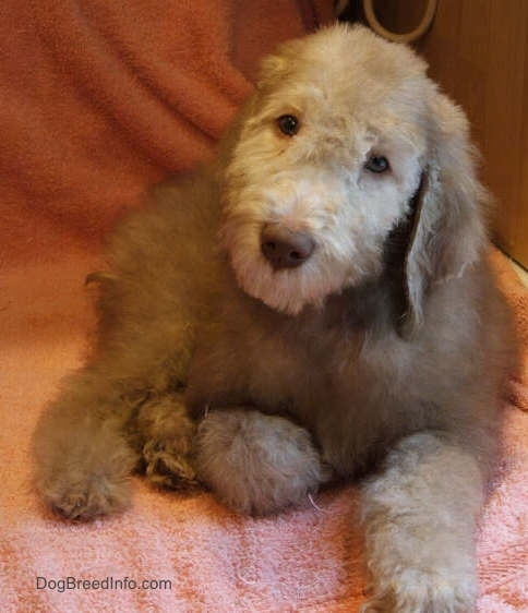 Glenn the Bedlington Terrier puppy laying on a peach blanket
