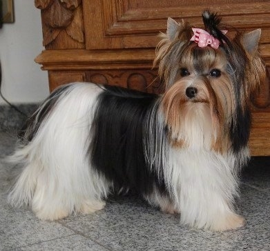 Biewer Terrier Dog Breed Information And Pictures