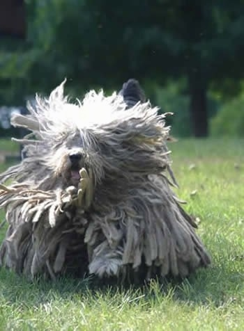 A white Bergamasco is running up a field and its hair is jumping all around.