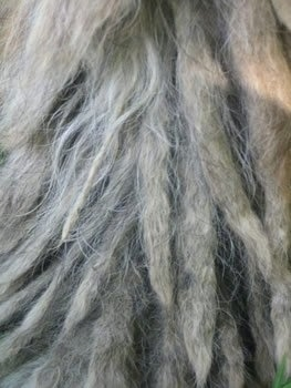Close Up - A longer corded strand of a Bergamascos coat