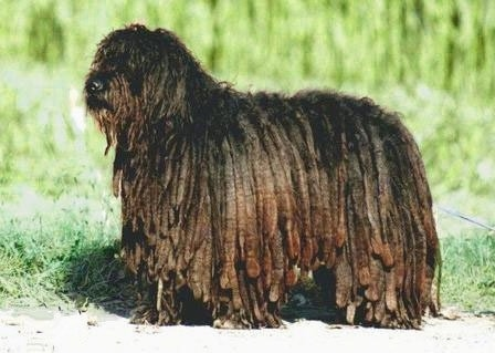 The left side of a black Bergamasco that is standing across a sidewalk and it is looking to the left.
