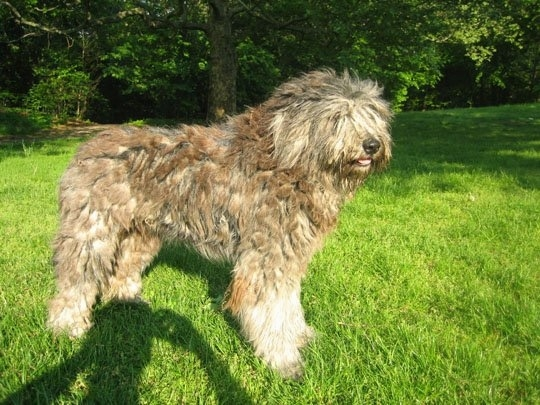 The right side of a tan with white Bergamasco that is standing across grass and it is looking to the right.