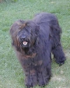 The front left side of a black Bergamasco that is standing in grass with its mouth open and it is looking forward.