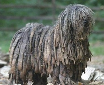 The right side of a black Bergamasco that is standing on rocks and it is looking to the right.
