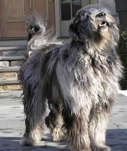 The front right side of a gray with black Bergamasco that is standing across a porch with its mouth open and its head tilted up.