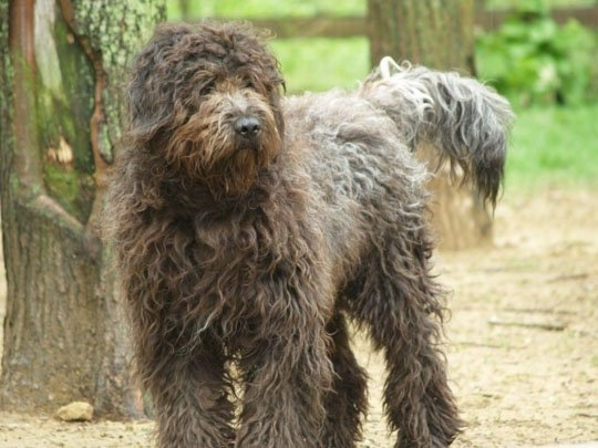 The front left side of a Bergamasco that is standing on dirt and to the left of it isdiv a bunch of trees