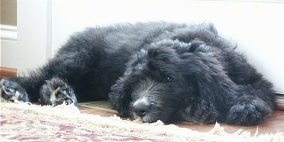A black Bernedoodle puppy is sleeping next to a rug and in front of a door.