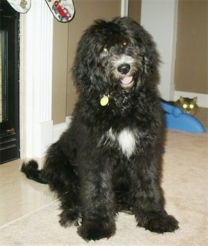 The front right side of a black with white Bernedoodle puppy that is sitting in front of a fireplace. There is a Cat sitting behind it.