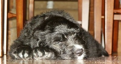 Close Up - A black Bernedoodle puppy is sleeping under a table next to chairs.
