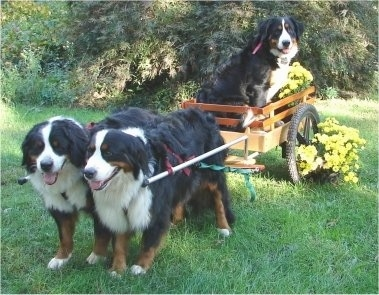 Bernese Mountain Dogs Willow and Bailey pulling a cart with Whisper the Bernese Mountain Dog in it
