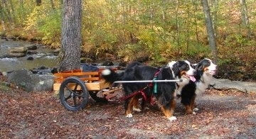 Willow and Bailey the Bernese Mountain Dogs pulling a cart next to a stream with a wooded area in the background
