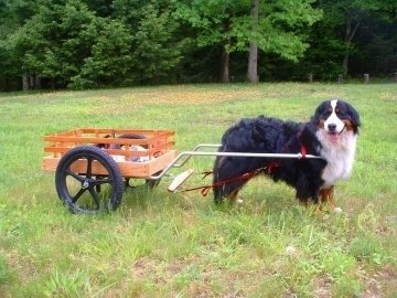 Left Profile - Willow the Bernese Mountain Dog with a cart attached to it