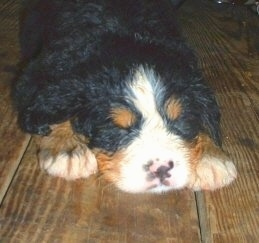 Willow the Bernese Mountain Dog as a puppy laying on a hardwood floor