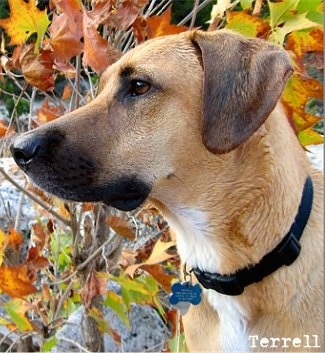 Close Up - Terrell the Black Mouth Cur looking to the right with leaves in the background. the words 'Terrell' are overlayed