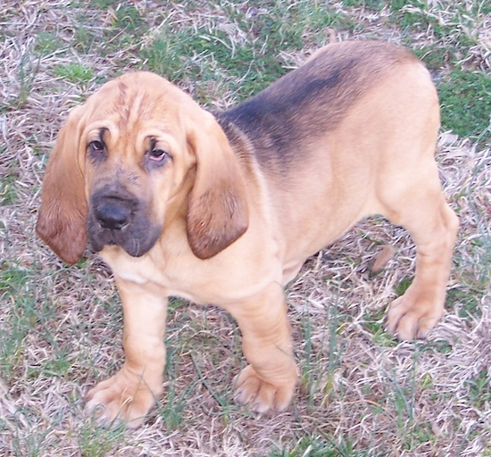 Abby the Bloodhound puppy walking across a field