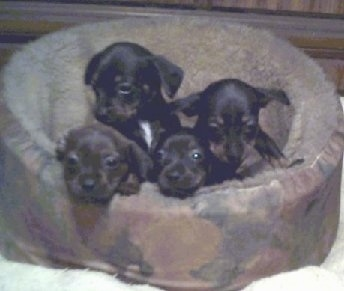 Litter of Bo-Dach puppies at 6½ weeks old (Boston Terrier / Dachshund Hybrids)
