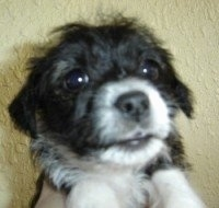 Close Up - The face of a black with white Bossi-Poo Puppy that is being held up in front of a yellow wall by a person.