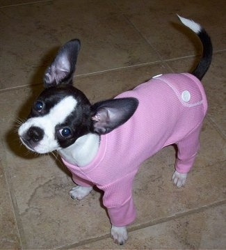 A small, black with white Boston Bull Terrier/Chihuahua mix puppy is standing on a tiled floor and it is wearing a pink onesie. Its head is tilted to the right and its ears are large compared to its body.