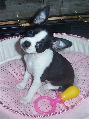 A perk-eared, small, black with white Boston Bull Terrier/Chihuahua mix puppy is sitting on a pink polka-dot dog bed and its head is tilted to the right. There is a pacifier toy next to it. Its ears are large compared to the size of its head.