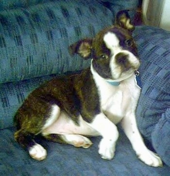 Chance the Boston Terrier puppy laying on a blue couch