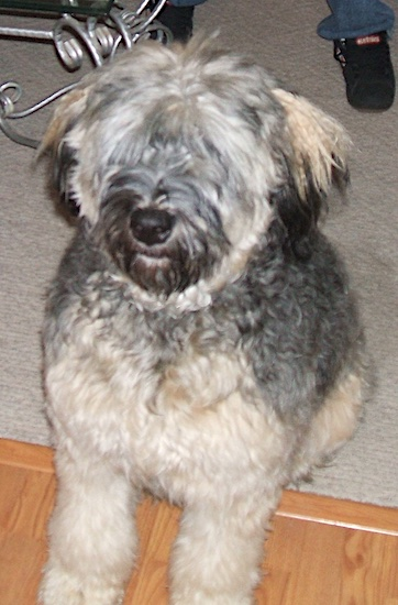 Nani the Bouvier des Flandres sitting on a carpet with front paws extended onto the hardwood floor