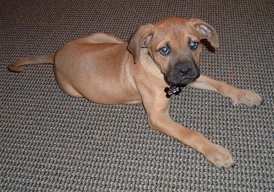 Sammy the Bulloxer puppy laying on a carpet