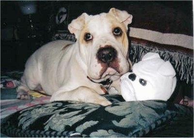 Daisy the Bull-Pei laying on a bed next to a toy that looks like a Bulldog