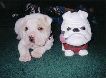 Daisy the Bull-Pei as a puppy laying on a carpet next to a toy that looks like a Bulldog
