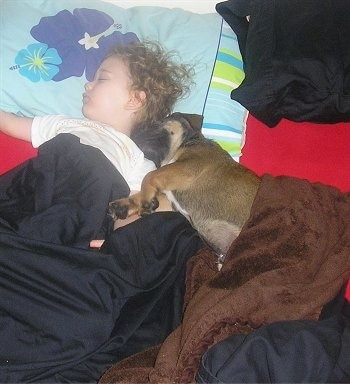 Shooter the Bulloxer puppy sleeping with a young child