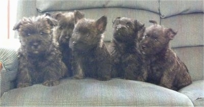 Litter of little black brindle Bushland Terrier puppies lined up sitting on a tan couch