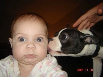 Zoey the Boston Terrier licking the ear of a wide-eyed baby