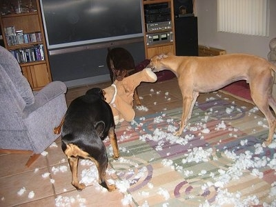 Wendy the Red Doberman, Stewie the Greyhound and Lucy the Black Doberman are playing tug-of-war with a teddy bear in front of a flat screen TV. There is white stuffing all over the rug