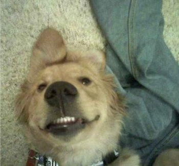 Close Up - Harper the Golden Retriever puppy is laying on its back next to a pair of jeans with his bottom teeth showing