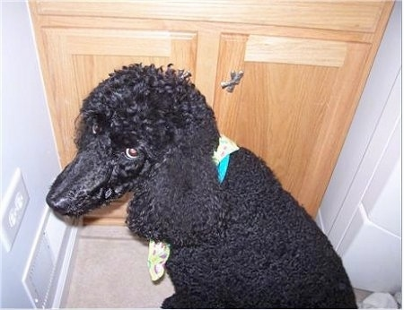 Close Up - Katie the Poodle is sitting in front of a cabinet and looking back at the camera holder with a look of guilt on her face