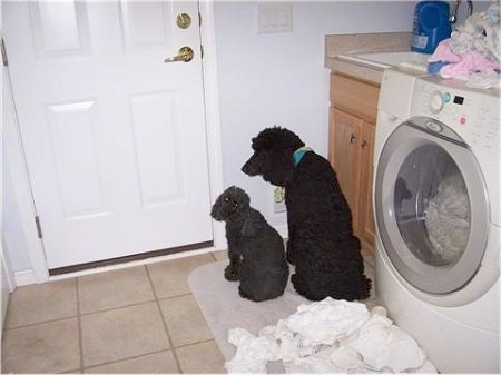 Katie the Standard Poodle and Bobby the Mini Poodle are sitting facing a wall in a laundry room