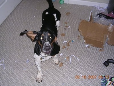 Willie the Basset Hound is walking towards the camera holder. There is a destroyed box with cardboard pieces all over the floor.