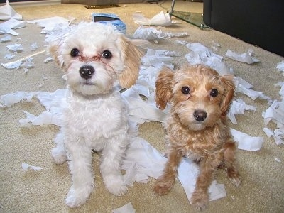 Charlie and Ginger the Shih-Poos are sitting in front of a bunch of ripped tissues. There is an empty tissue box behind them