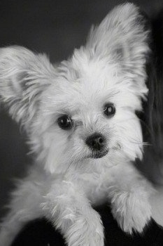Close Up - A black and white Photo of Ellie the Chorkie leaning on a chair