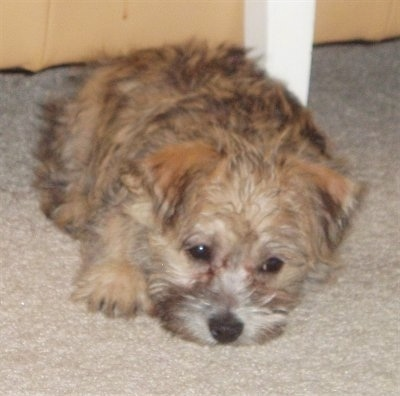 Ditka is a registered Cairnese hybrid puppy, shown here at 8 weeks old. (Havanese / Cairn Terrier mix)