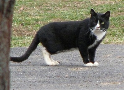 A black and white cat missing an eye is standing on a blacktop and looking towards the camera holder