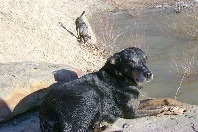 Dooby the Catahoula is laying on a rock overlooking water. There is another Catahoula dog exploring the side of a rock