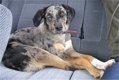 Whiskey the Catahoula puppy is laying in the back of a car and next to a person in the back